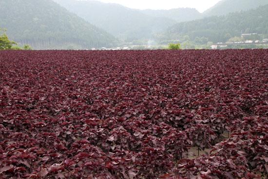 大原の紅シソ畑_e0048413_20402635.jpg
