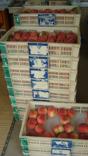 収穫した桃の ゆくえ_f0325525_09555974.jpg