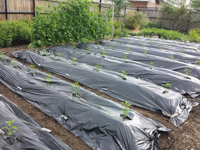 アジメコショウの苗、植えました&当分休業のお知らせ_e0155231_13335410.jpg