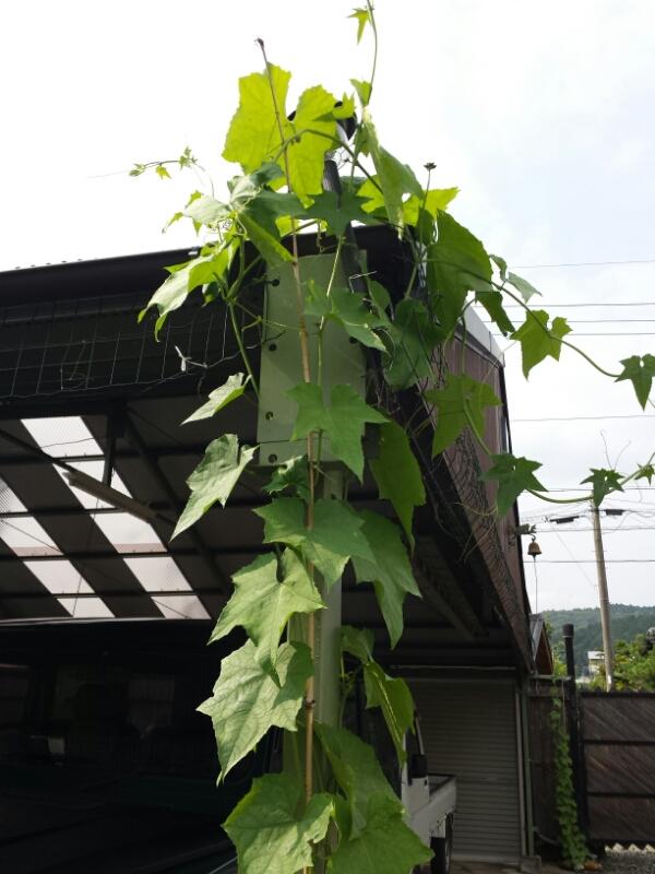 アジメコショウの苗、植えました&当分休業のお知らせ_e0155231_13341779.jpg