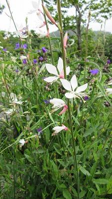 ロックガーデンの花たち15_b0219993_16113119.jpg