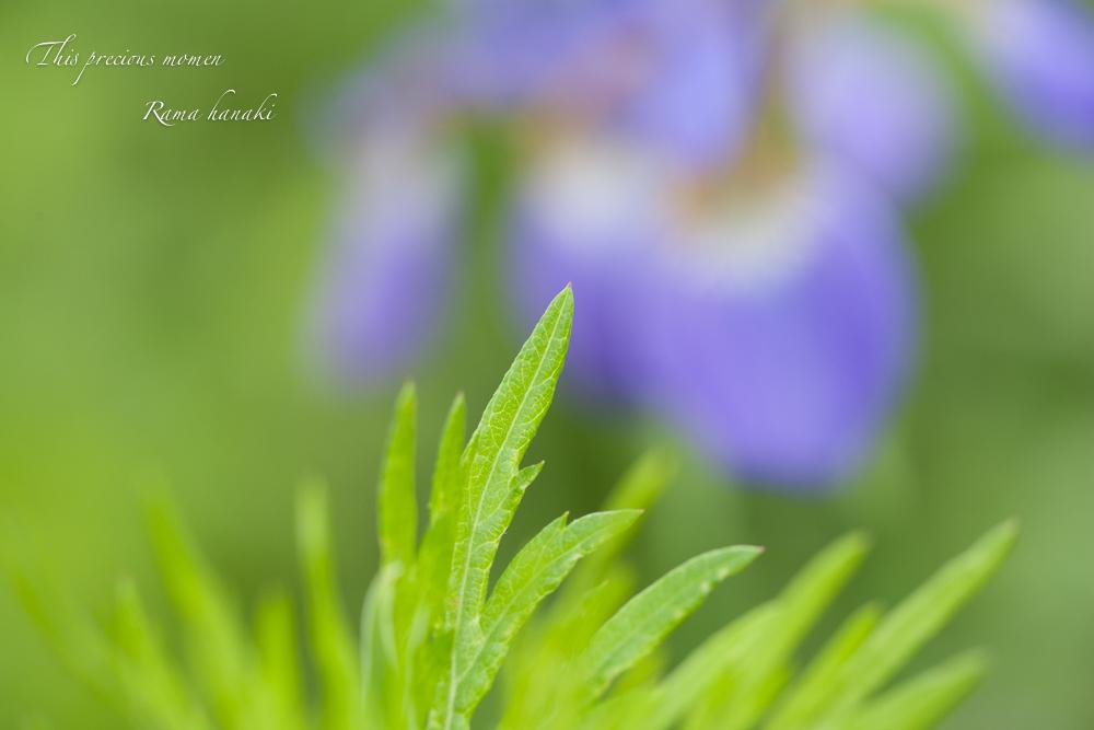 野原で見つけたルピナスとアヤメ_c0137403_1543886.jpg