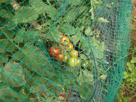 獲ったぞ~トマトが赤くなりました。_b0137932_94017.jpg