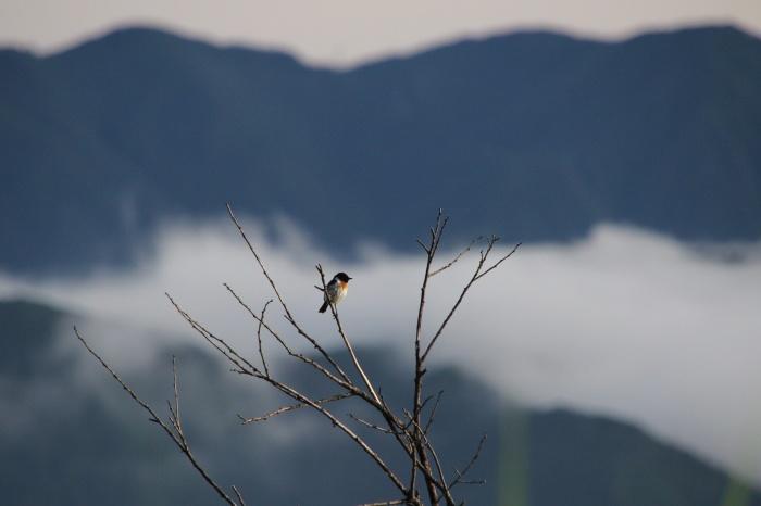 2014.7.6 富士山と野鳥・北富士演習場・ノビタキ、ホオアカ、コムクドリ_c0269342_20500030.jpg