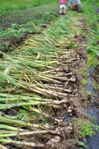 ニンニクと玉ネギの収穫_c0110869_17115360.jpg