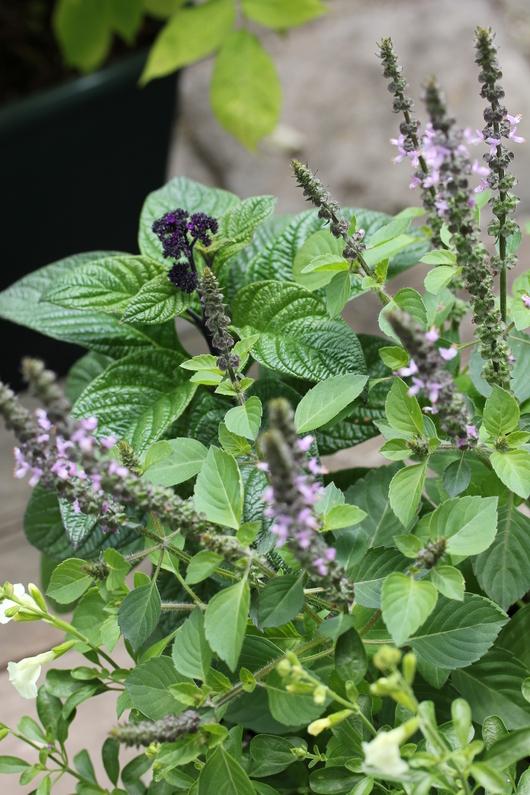 お花としてのハーブの寄せ植え_a0292194_225441.jpg