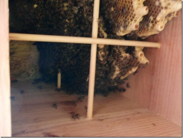 孫分蜂していました。_f0176521_2122377.jpg
