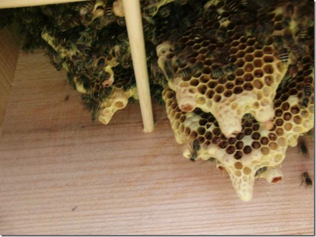 孫分蜂していました。_f0176521_2131128.jpg