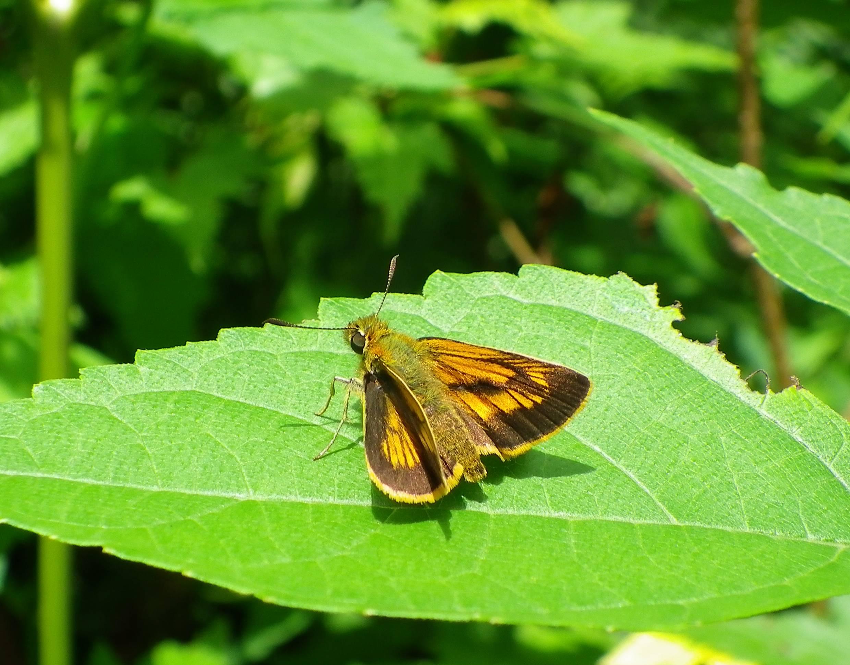 キマダラセセリ 土曜日のその他の蝶達_d0254540_19515093.jpg