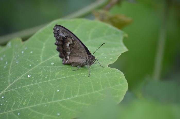 キマダラセセリ 土曜日のその他の蝶達_d0254540_195159.jpg