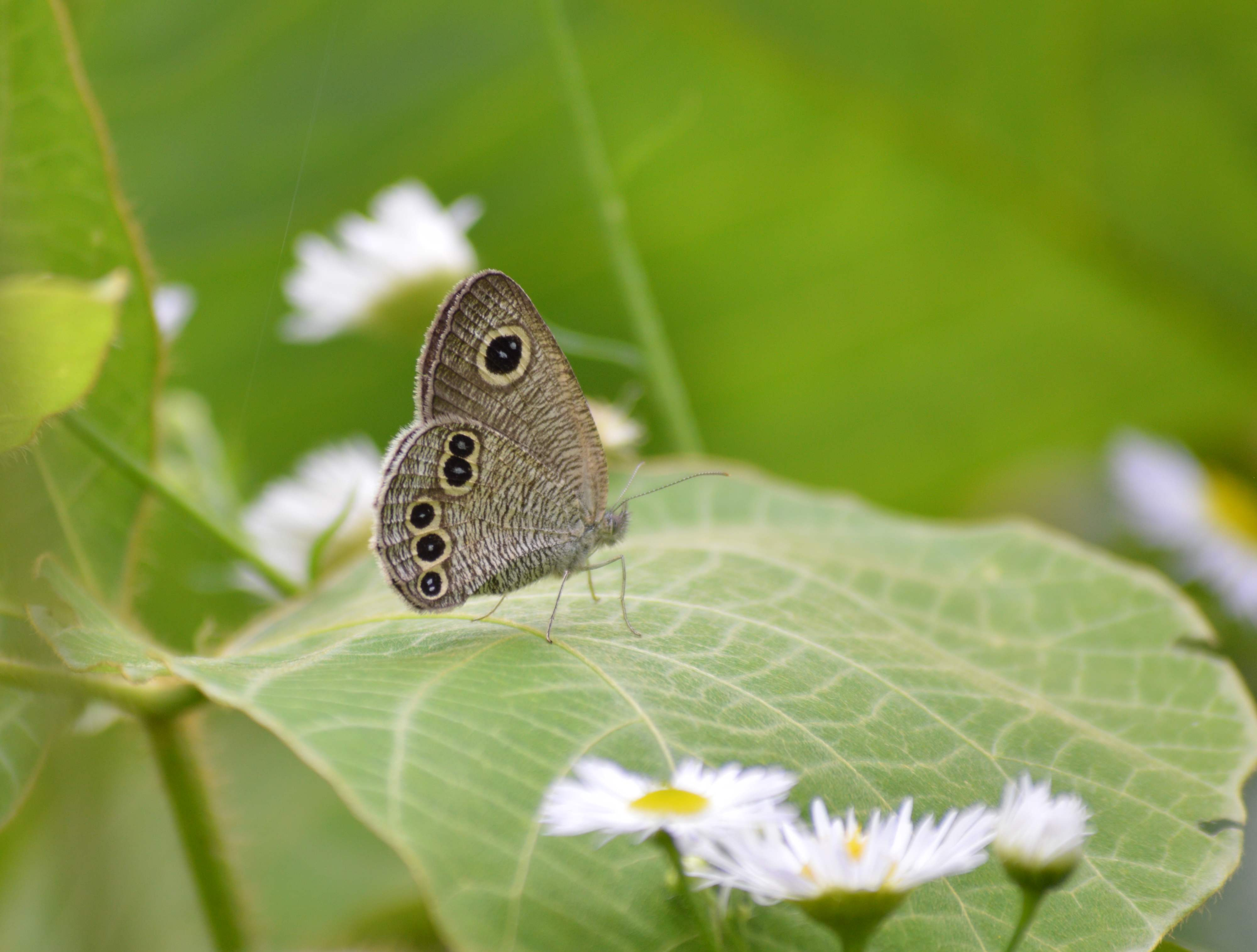 キマダラセセリ 土曜日のその他の蝶達_d0254540_19532857.jpg