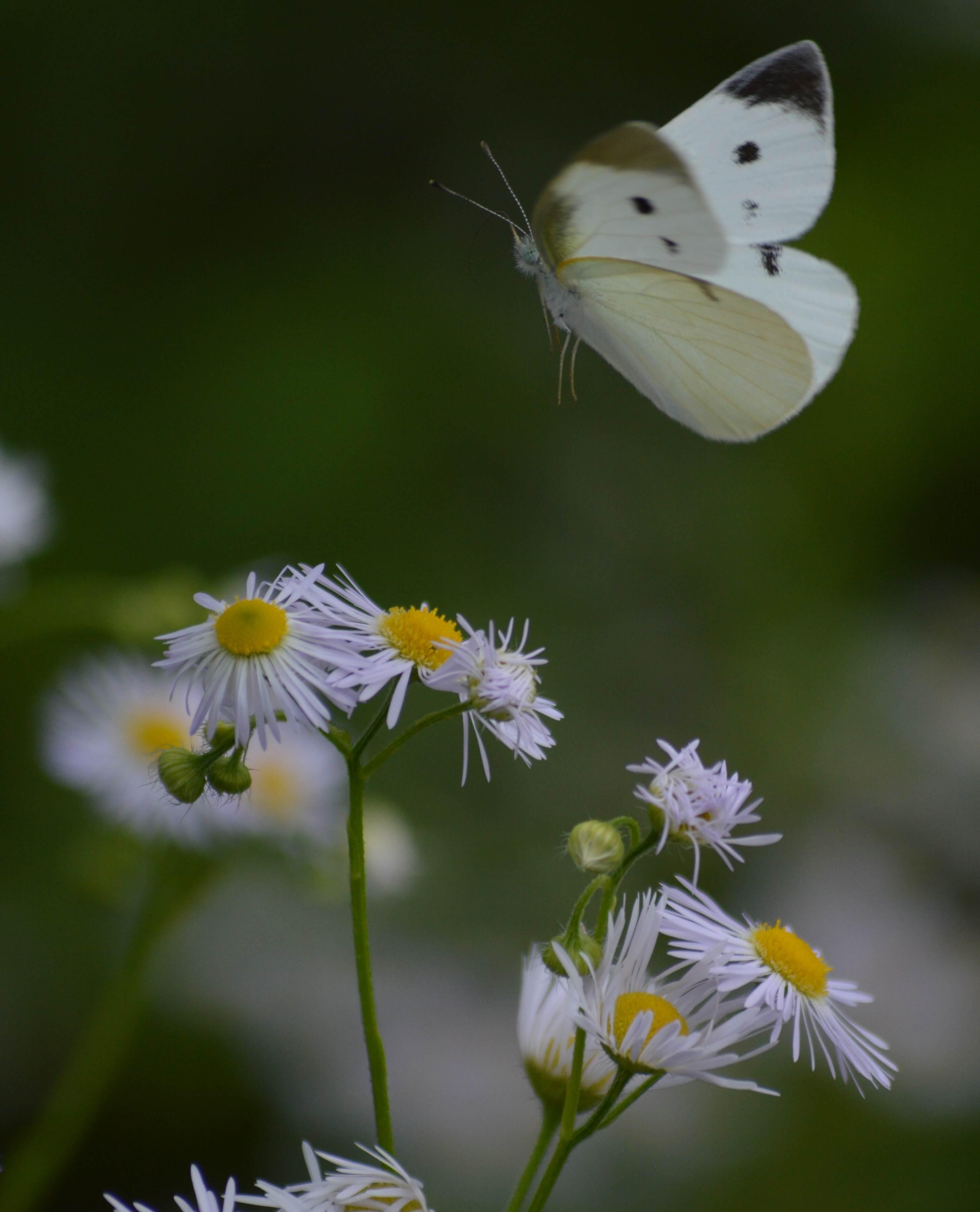 キマダラセセリ 土曜日のその他の蝶達_d0254540_19543486.jpg