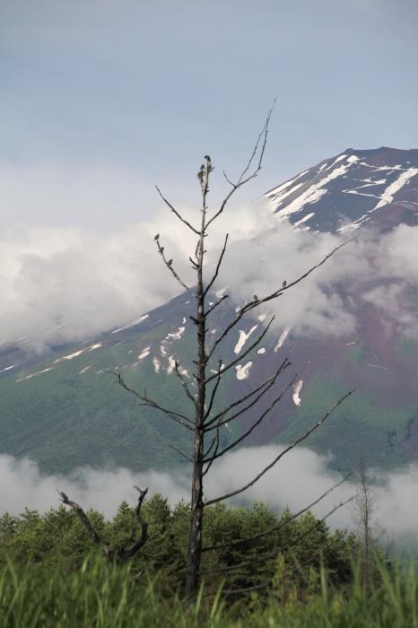 2014.7.6 富士山と野鳥・北富士演習場・ノビタキ、ホオアカ、コムクドリ_c0269342_09392697.jpg