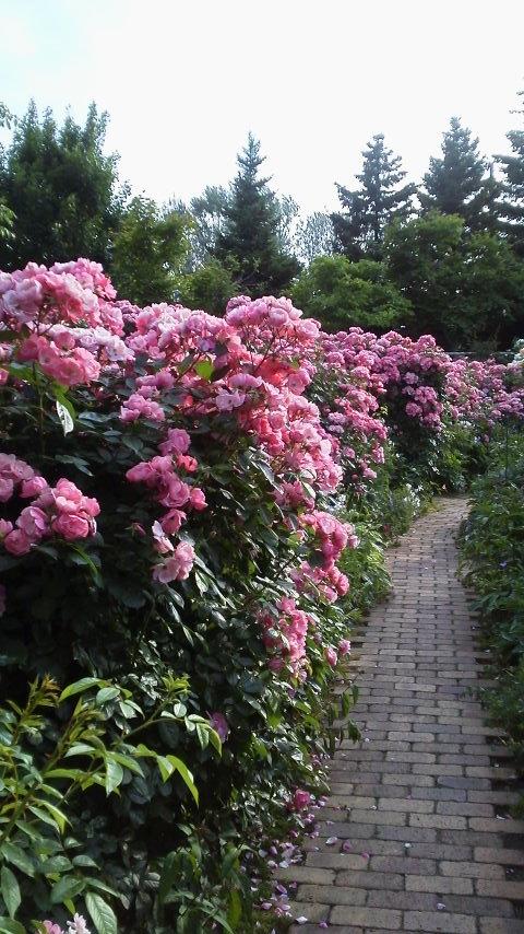 バラの季節_f0316507_09535372.jpg
