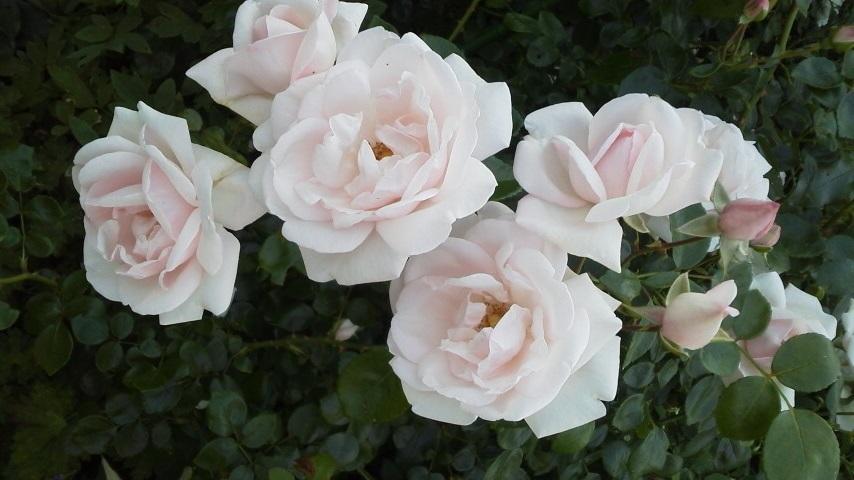 バラの季節_f0316507_11040244.jpg