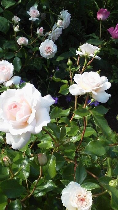 バラの季節_f0316507_11044624.jpg