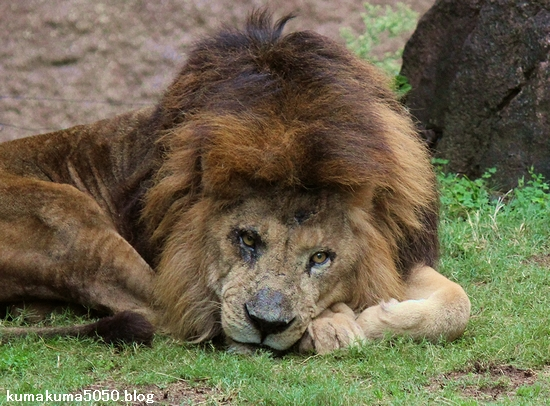 準決勝第一試合:瀕死のライオンにシベリアタイガーと戦う力は残っていなかった!_e0171614_9162895.jpg