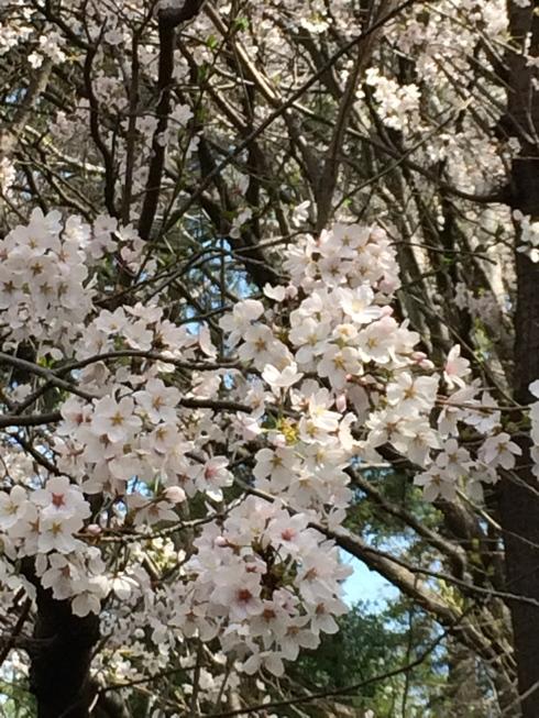 桜2014_e0189465_841302.jpg