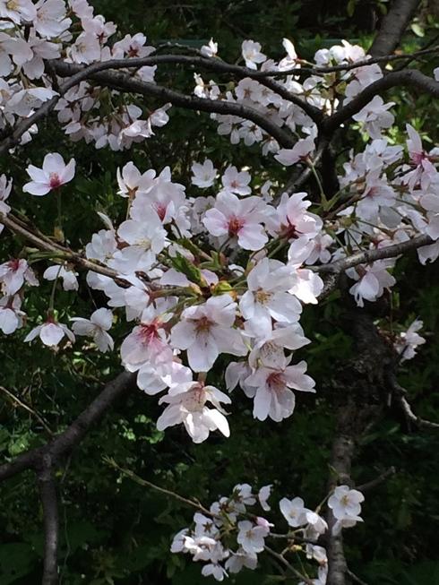 桜2014_e0189465_841753.jpg