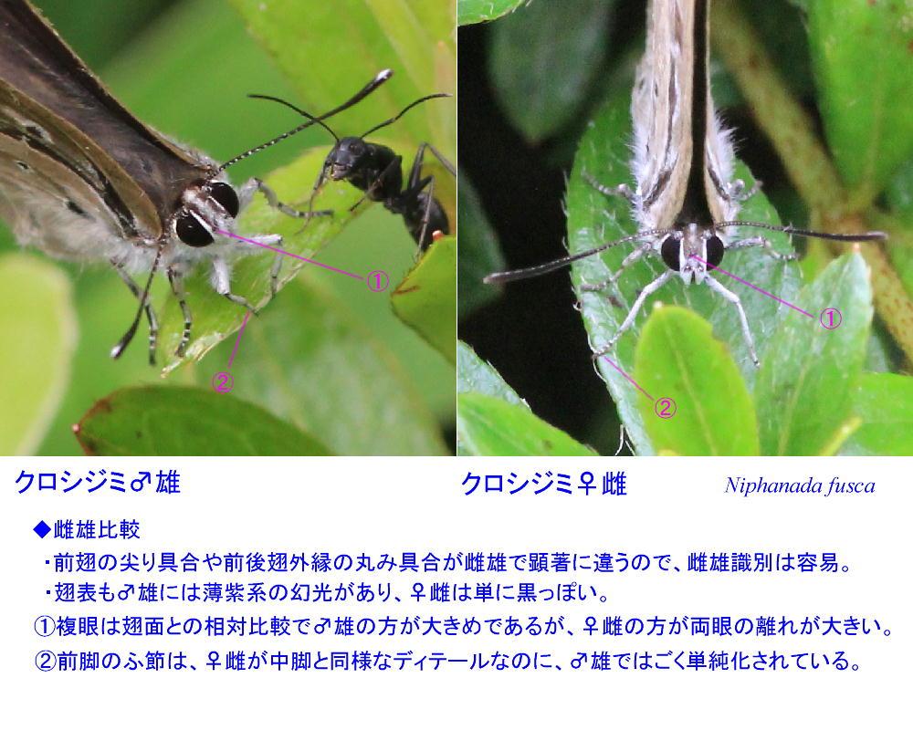 クロシジミ  北関東産初見に感激。 2014.7.6 _a0146869_4441828.jpg