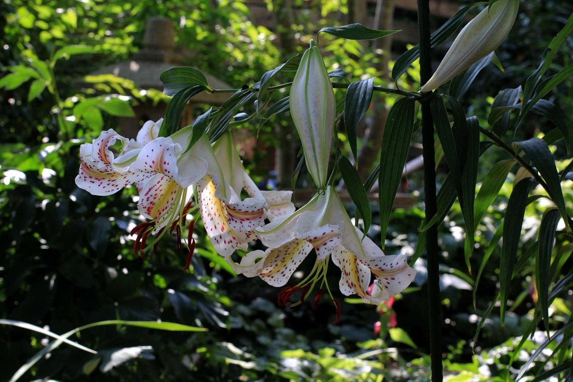 日陰が好きな草花に乾杯  ~ヤマユリ、ギボウシ~_a0107574_18511228.jpg