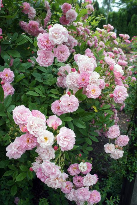 遅ればせながら、バラ満開です。_f0160407_623957.jpg