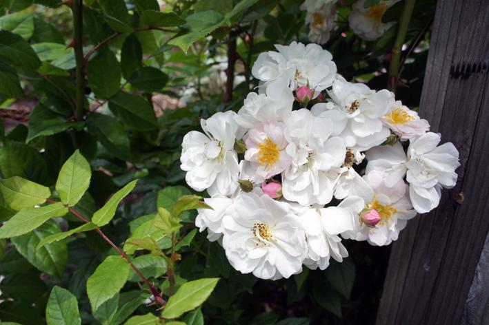 遅ればせながら、バラ満開です。_f0160407_63205.jpg
