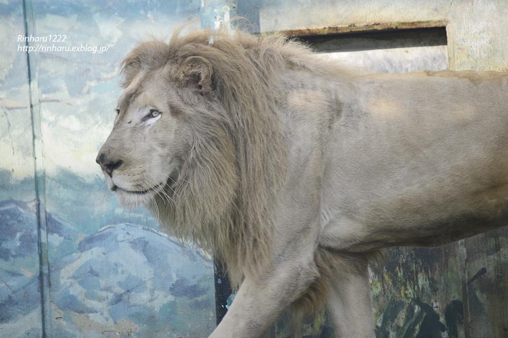 2014.1.12 姫路セントラルパーク☆ホワイトライオンのロイ【White lion】_f0250322_2231195.jpg
