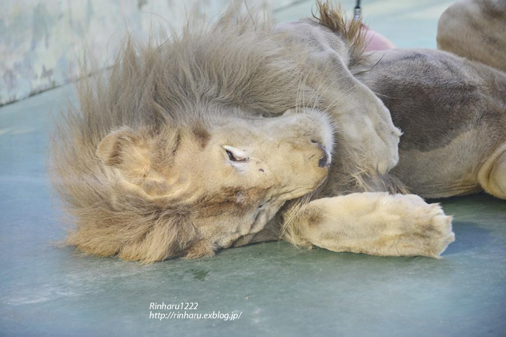 2014.1.12 姫路セントラルパーク☆ホワイトライオンのロイ【White lion】_f0250322_223484.jpg