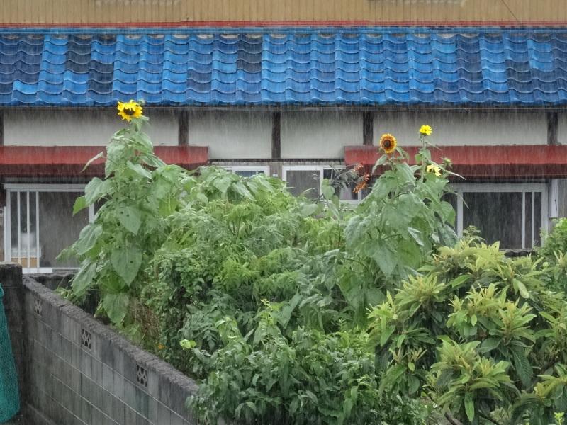 台風8号は少し おとなしくなったようだ_c0108460_15021693.jpg
