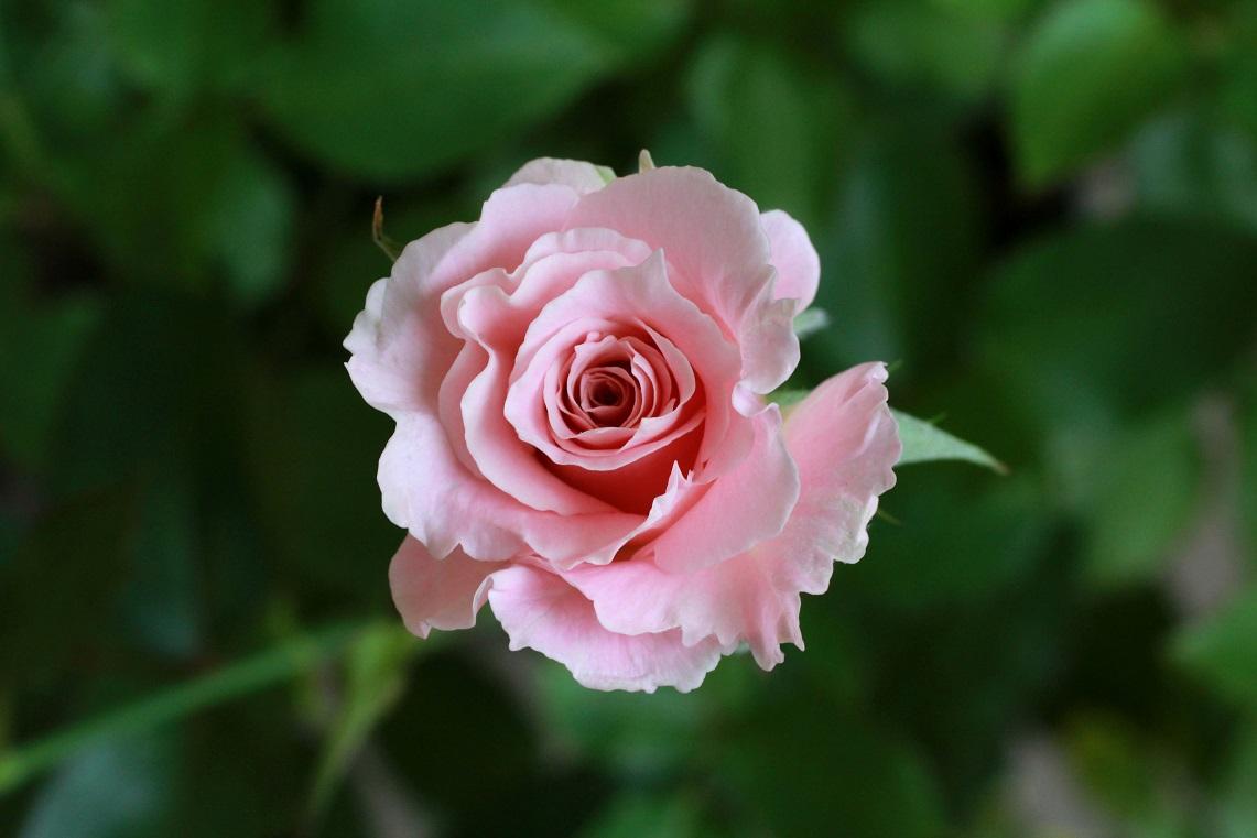 花を咲かせる場所  ~ラ・マリエ、サンセット・グロウ、ヤマユリ~_a0107574_18114177.jpg