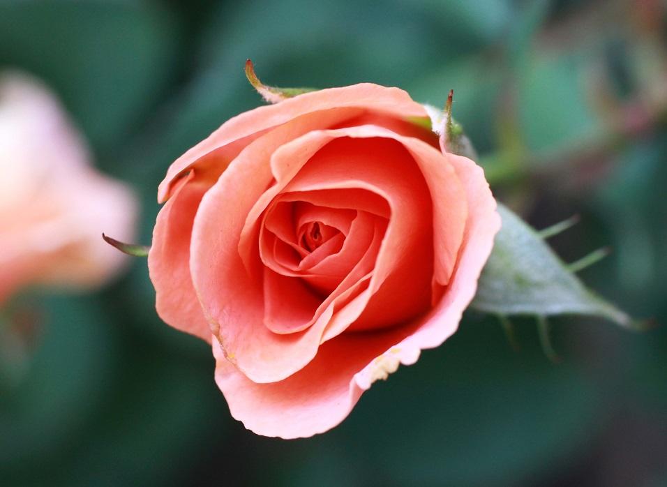 花を咲かせる場所  ~ラ・マリエ、サンセット・グロウ、ヤマユリ~_a0107574_18114869.jpg