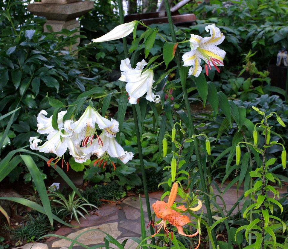 花を咲かせる場所  ~ラ・マリエ、サンセット・グロウ、ヤマユリ~_a0107574_18115518.jpg