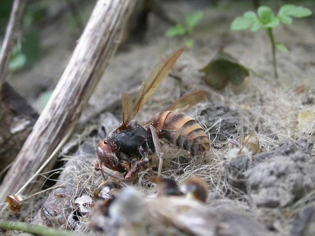 セイヨウミツバチと生態系への悪影響_a0247891_223383.jpg