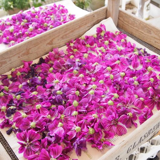 コモンマロウのお花の収穫_a0292194_11143924.jpg