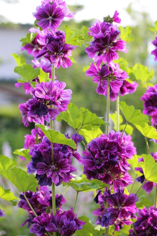 コモンマロウのお花の収穫_a0292194_1191968.jpg