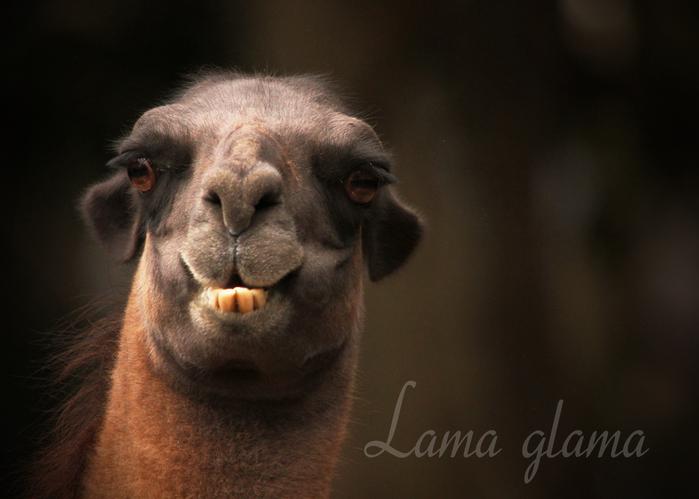 ラマ:Lama glama_b0249597_5205596.jpg