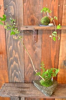 苔玉・盆栽教室の空き状況のご案内_d0263815_1823677.jpg