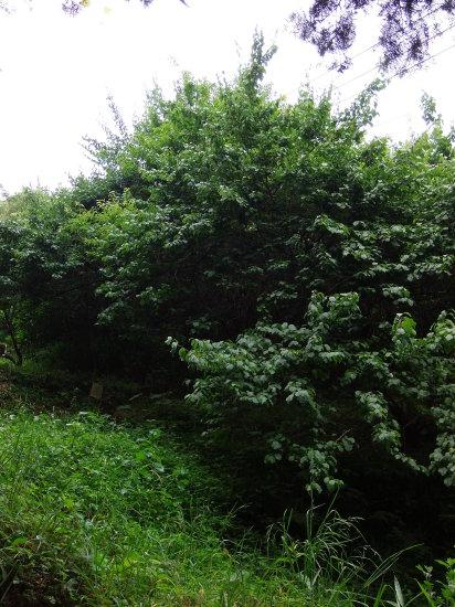 自然農の「梅シロップ」作り。_a0125419_20371426.jpg