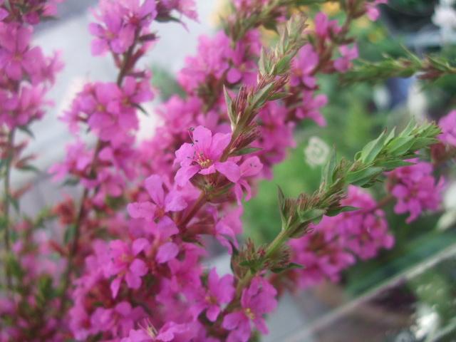 オークリーフ(7月の花たち)_f0049672_14463163.jpg