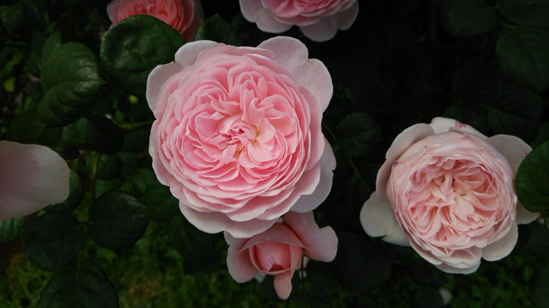 二番花は痛々しい ~クイーン・オブ・スウェーデン~_a0107574_20093675.jpg