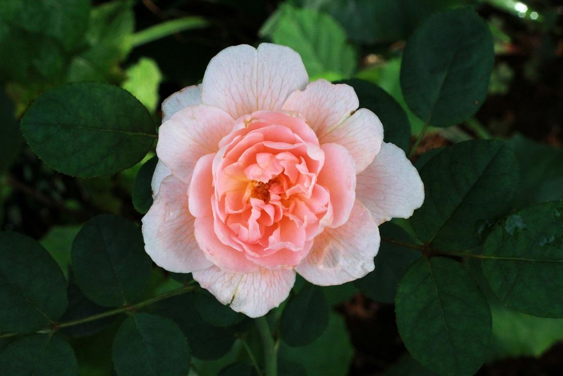 二番花は痛々しい ~クイーン・オブ・スウェーデン~_a0107574_20242602.jpg