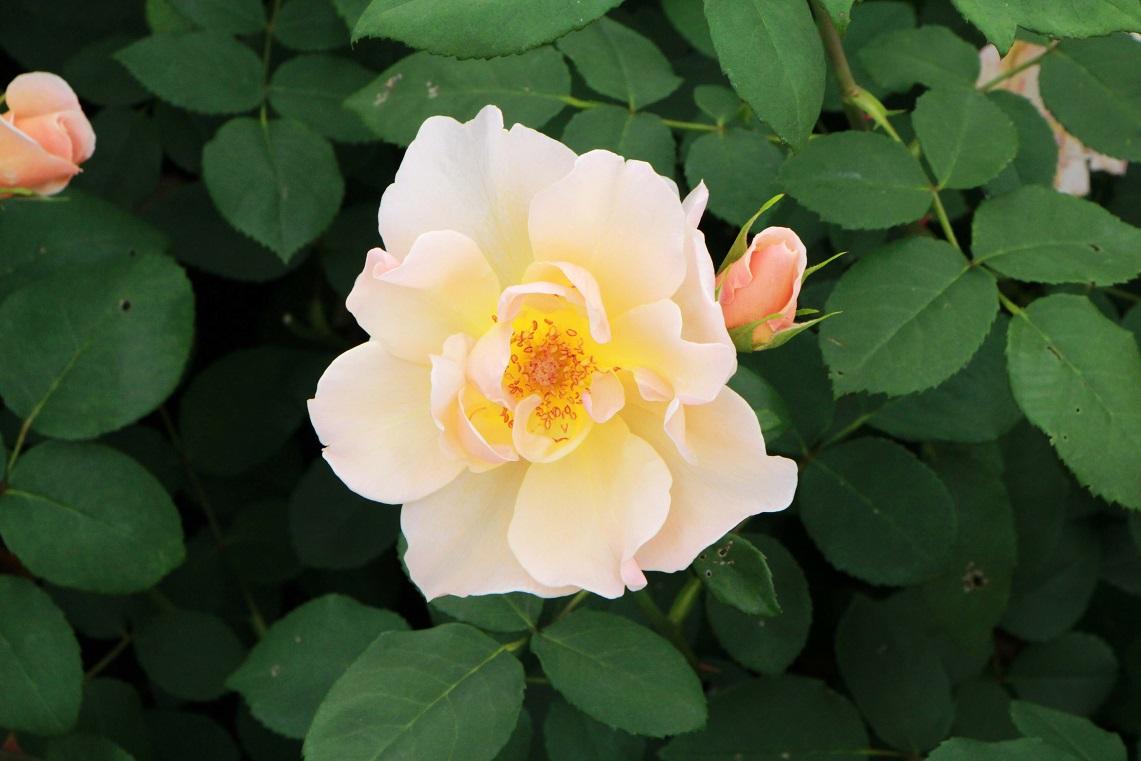 二番花は痛々しい ~クイーン・オブ・スウェーデン~_a0107574_20525244.jpg