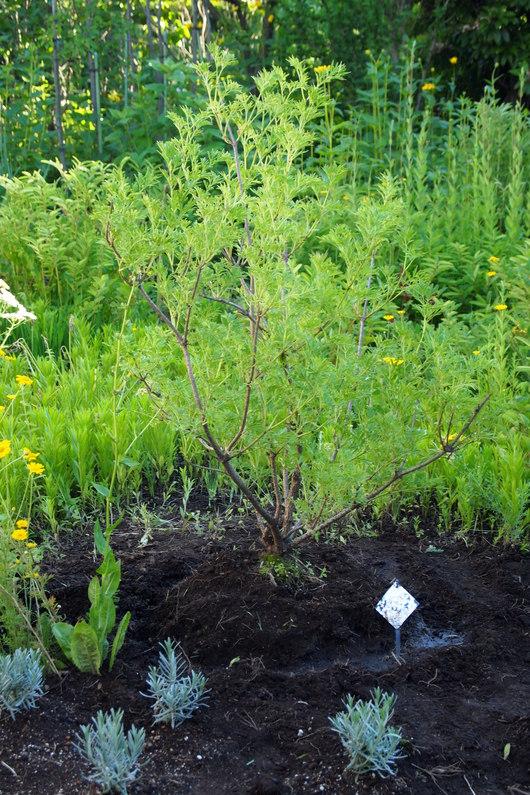 エルダーの苗木をお庭に移植_a0292194_17163296.jpg