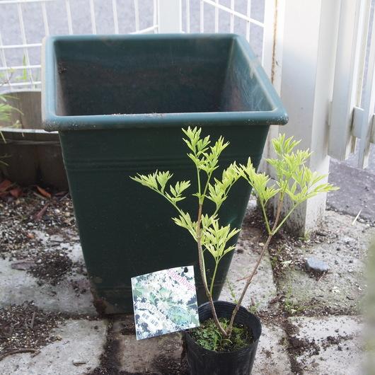 エルダーの苗木をお庭に移植_a0292194_17222692.jpg