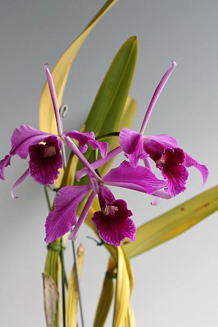 C.purpurata f.flamea_d0007501_791787.jpg