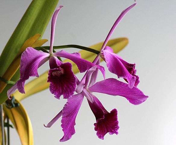 C.purpurata f.flamea_d0007501_792857.jpg