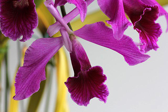C.purpurata f.flamea_d0007501_794116.jpg