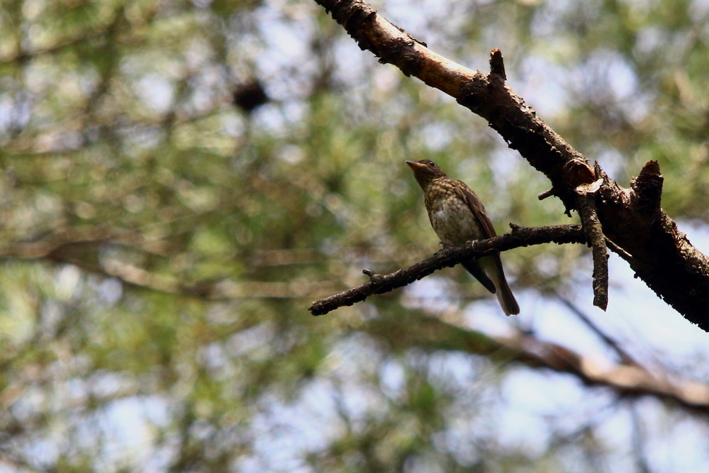 高原の幼鳥達(2014年7月12日)_f0235311_22455893.jpg
