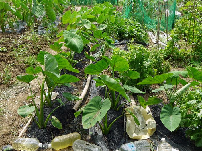 セスジスズメの幼虫サトイモの葉貪る&カボチャ初収穫7・12_c0014967_21472118.jpg